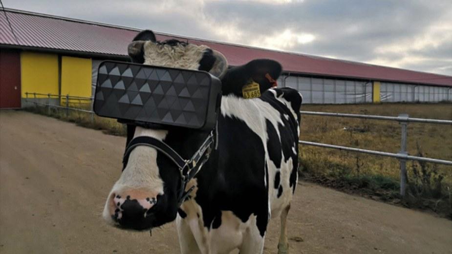 Rosja: Krowa z goglami VR to szczęśliwa krowa i mleka więcej daje...